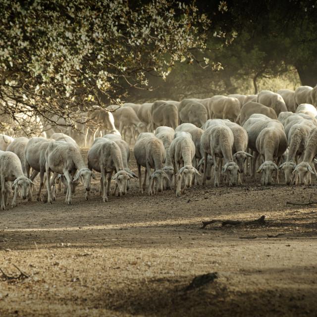 """Sheep herd"" stock image"