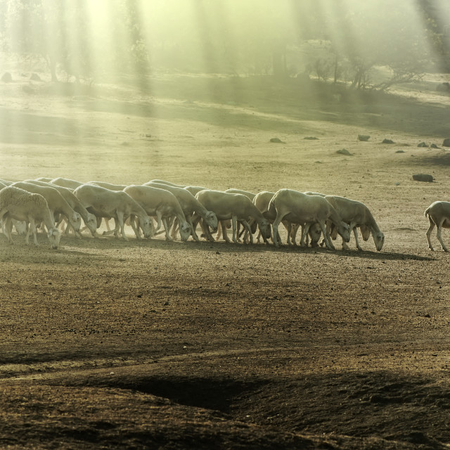 """Herd sheep"" stock image"
