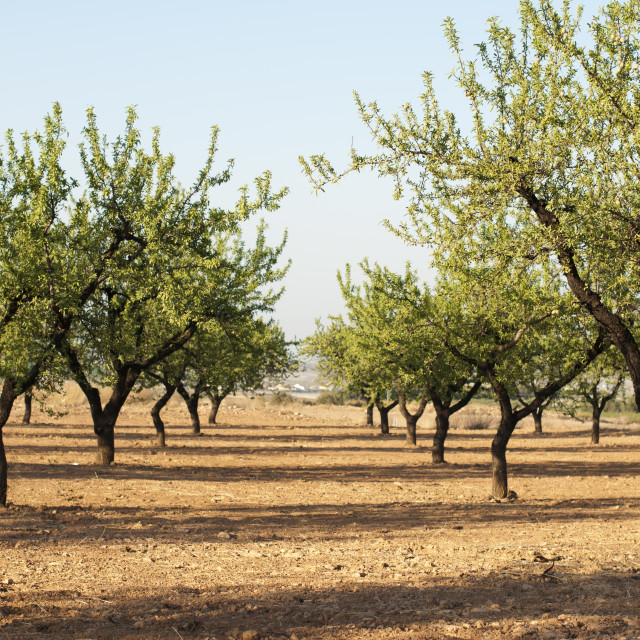 """Almond plantation trees"" stock image"