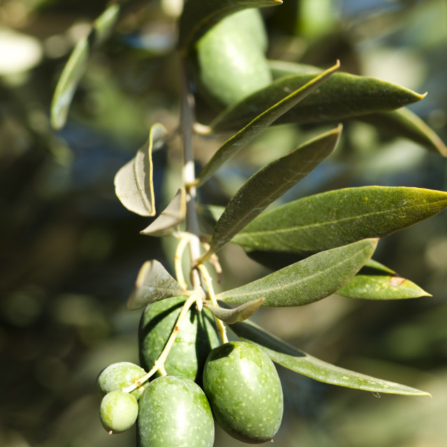 """""""Olives on a branch"""" stock image"""