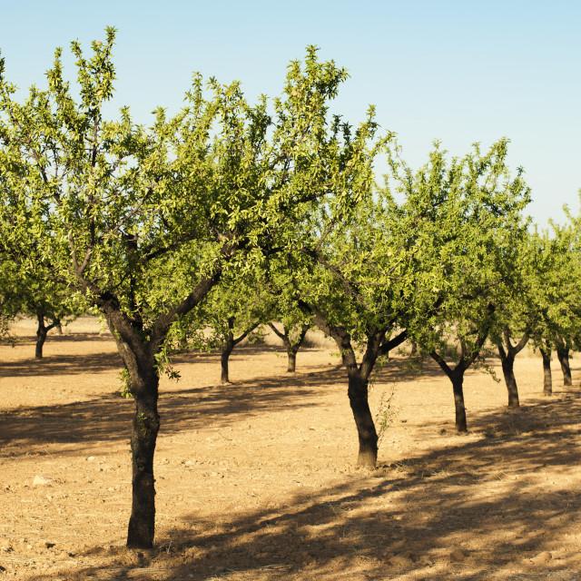 """Almond plantation trees"" stock image"