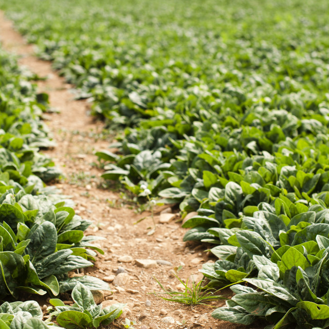 """Spinach plantation"" stock image"