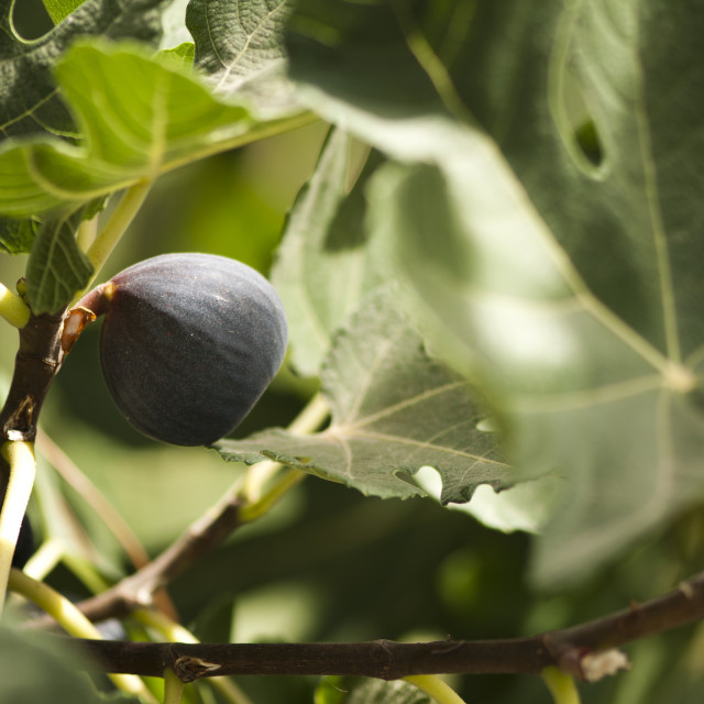 """""""Fig on branch"""" stock image"""