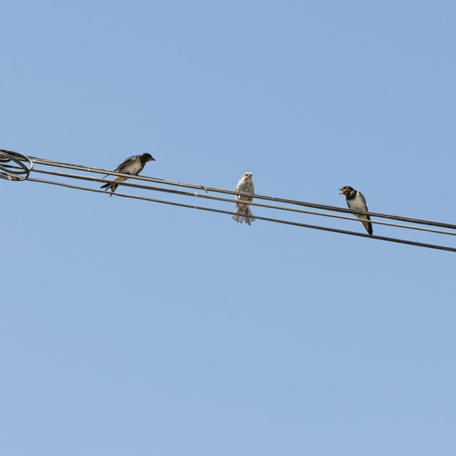 """""""Birds on a wire. Concept of uniqueness and difference"""" stock image"""