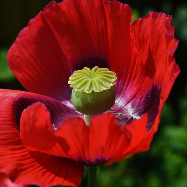 """""""Opium Poppy."""" stock image"""