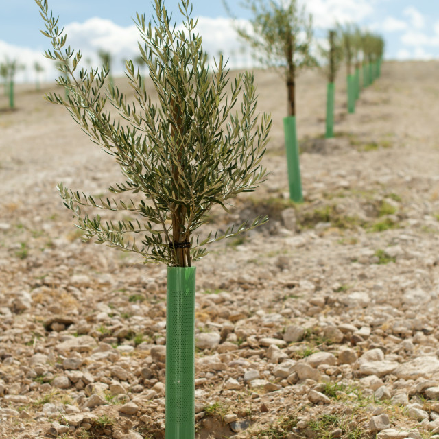 """""""Yang olive trees in a row"""" stock image"""