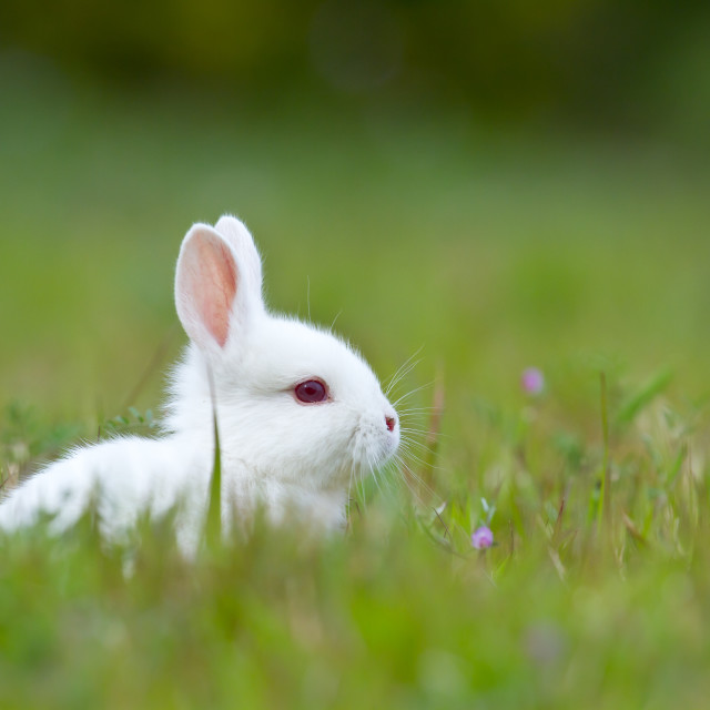 """White baby rabbit in grass"" stock image"