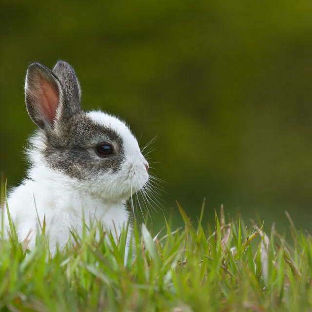 """Baby rabbit in grass"" stock image"