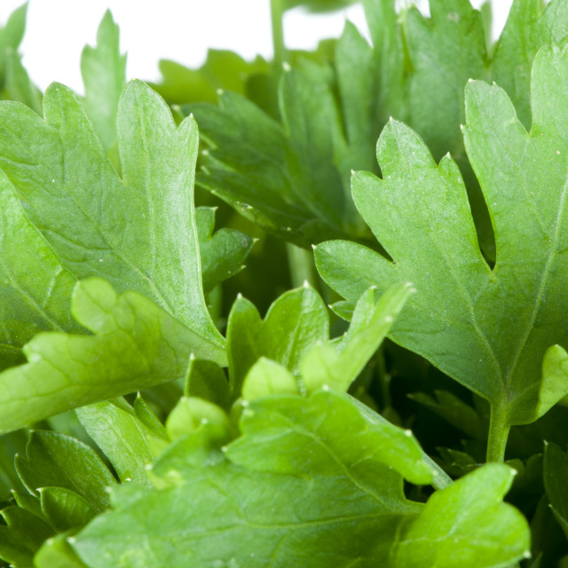 """Fresh green parsley"" stock image"