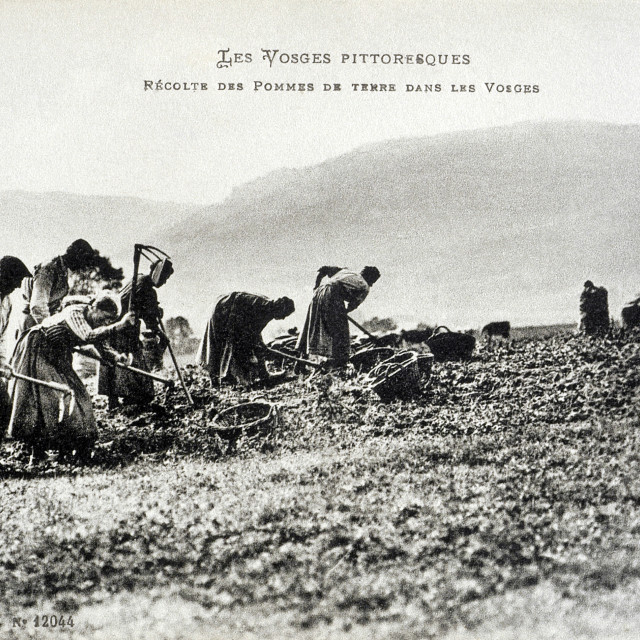 """""""old postcard In Vosges, harvesting potatoes"""" stock image"""