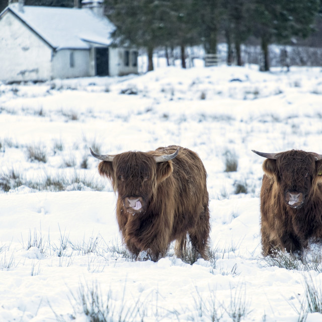 """Highland Cows in the Snow"" stock image"