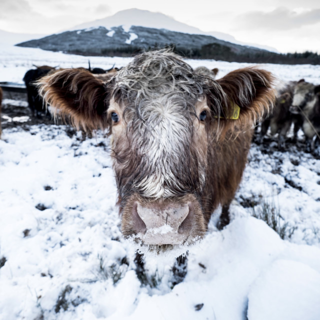 """Cow in the Highlands"" stock image"