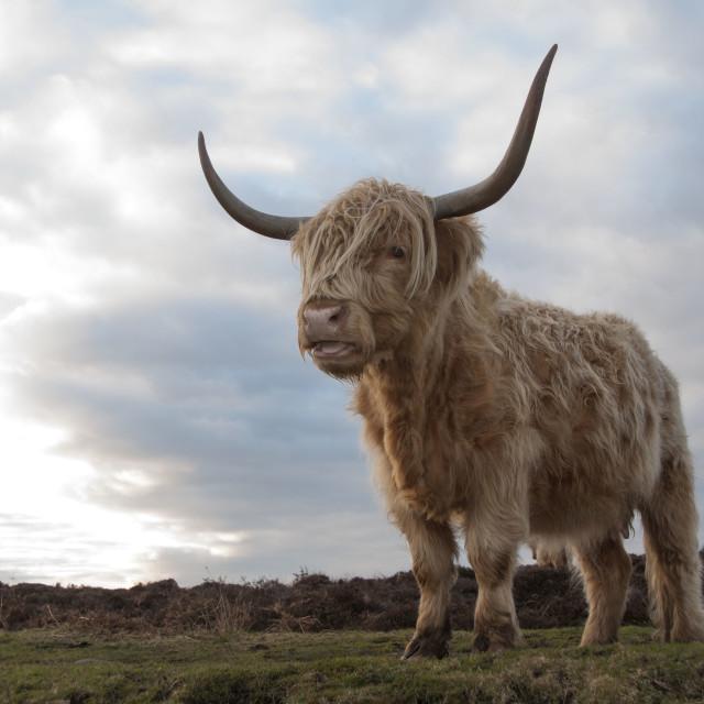"""Highland Cow, Derbyshire"" stock image"