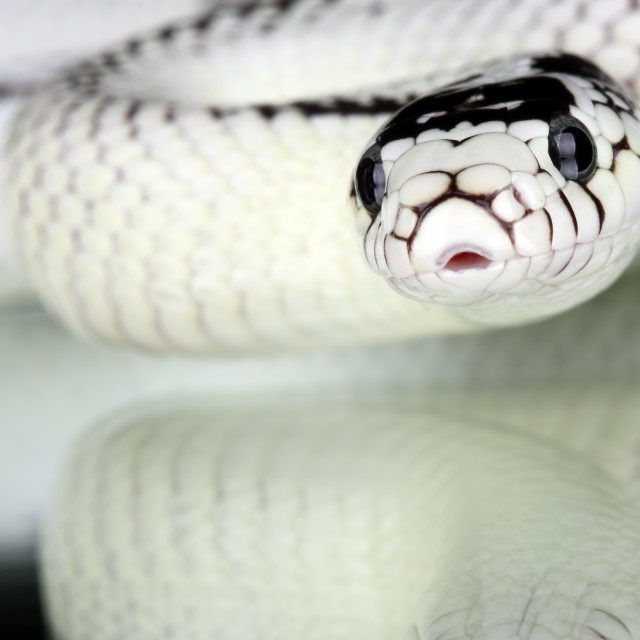"""lampropeltis getulus californiae"" stock image"