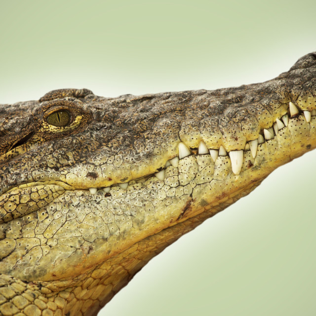 """Picture of the head of an dangerous alligator"" stock image"