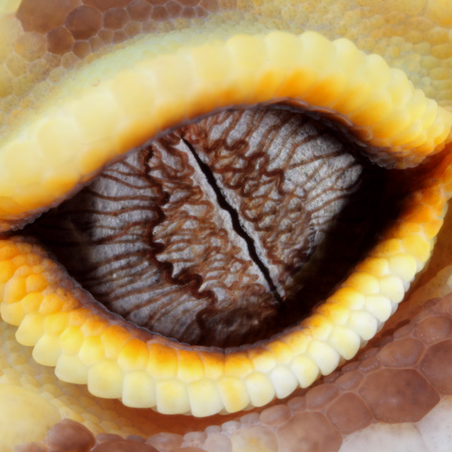 """Leopard gecko eye"" stock image"