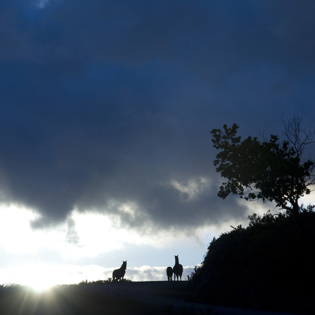 """silhouette of horses"" stock image"