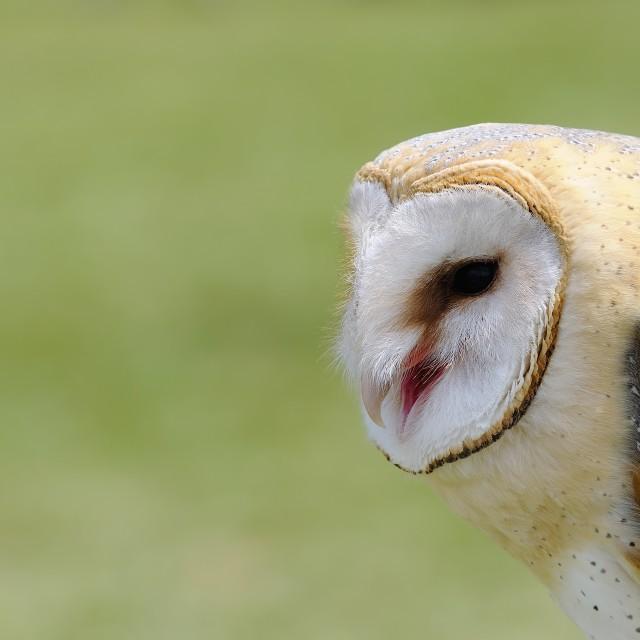 """Barn owl."" stock image"