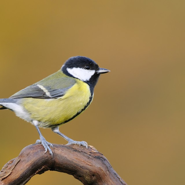 """Great tit, parus major."" stock image"