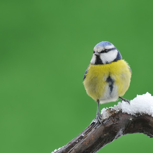"""Blue tit in snow."" stock image"