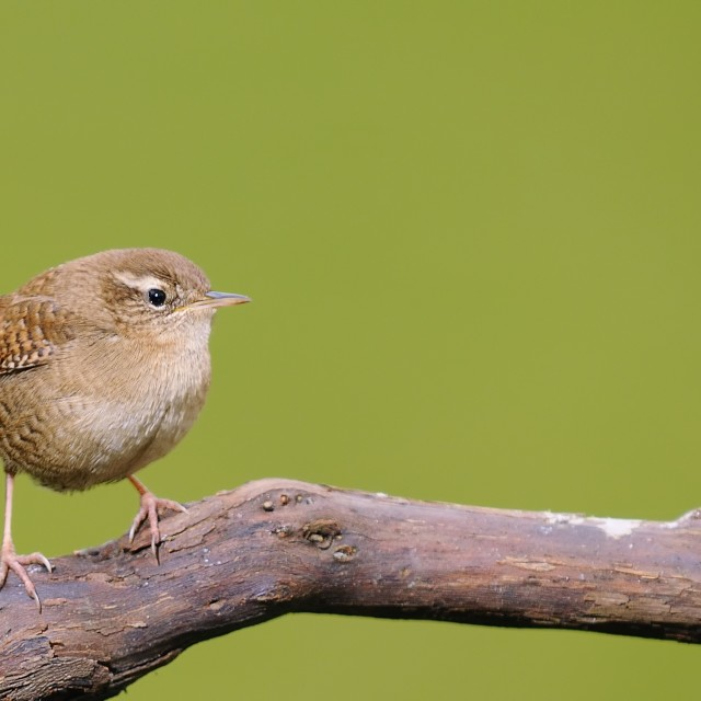 """Winter wren on green background"" stock image"