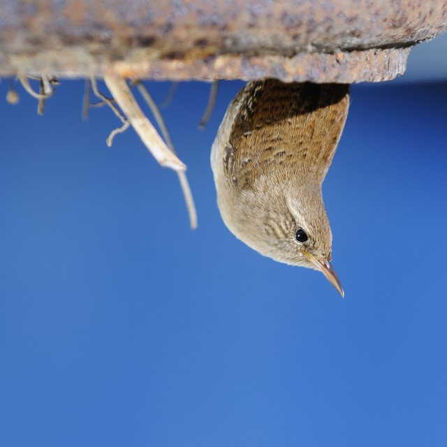 """Winter wren."" stock image"