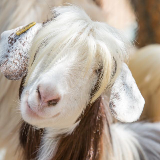 """""""Photogenic goat"""" stock image"""