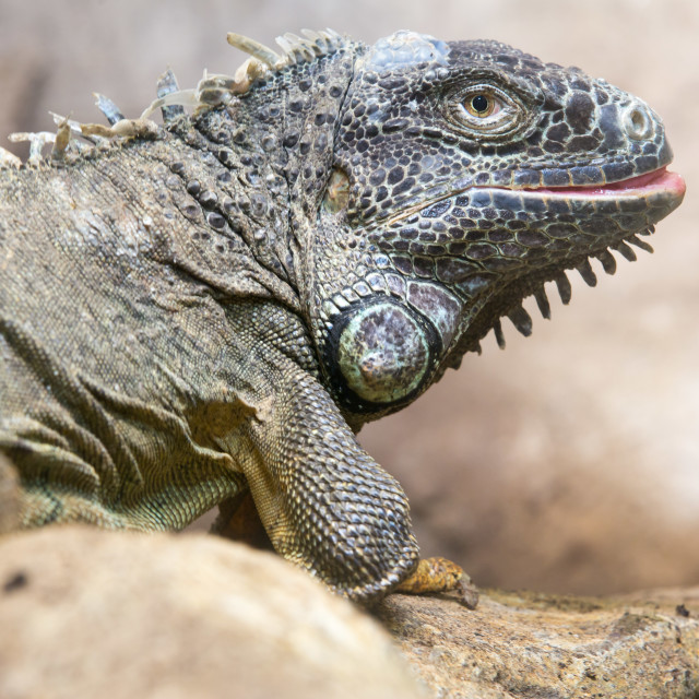 """Iguana lizard resting on a log"" stock image"