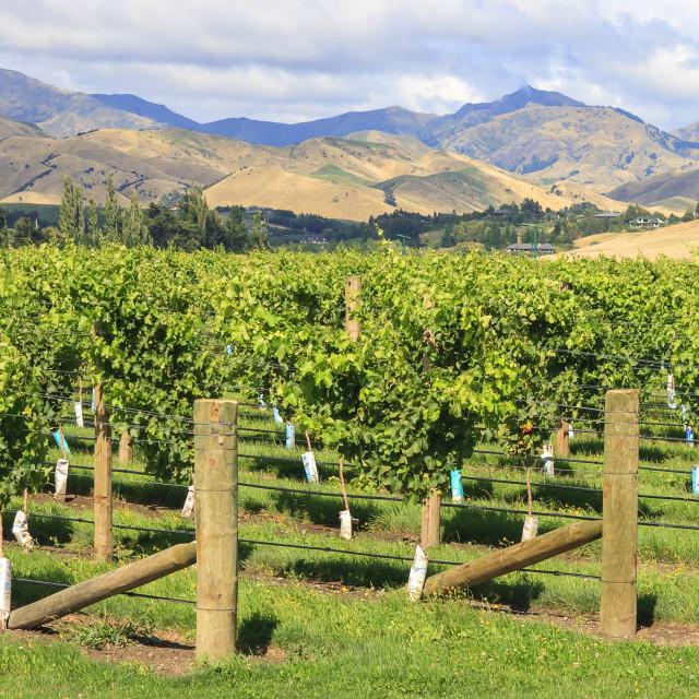 """New Zealand vineyard"" stock image"