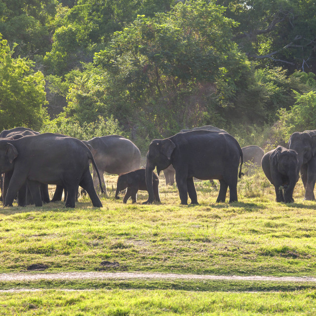 """Herd of elephants at sundown"" stock image"