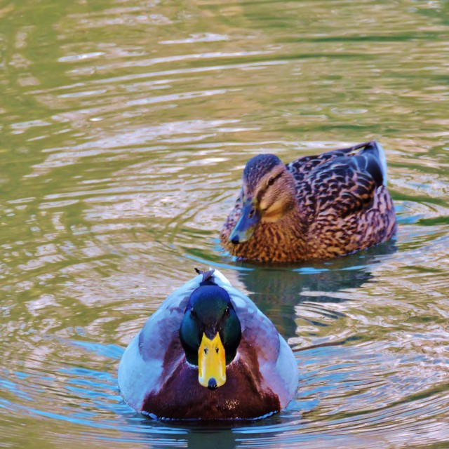 """Mallard Ducks."" stock image"