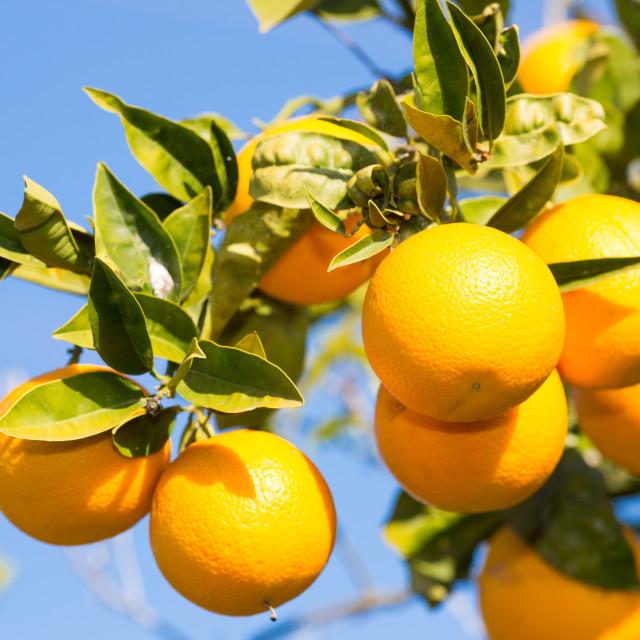 """Valencia orange trees"" stock image"