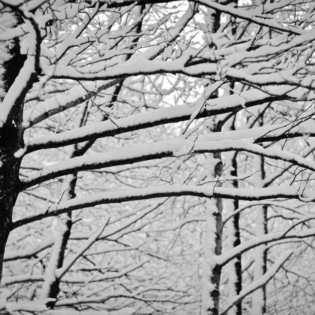 """""""Snowy Tree Branches"""" stock image"""