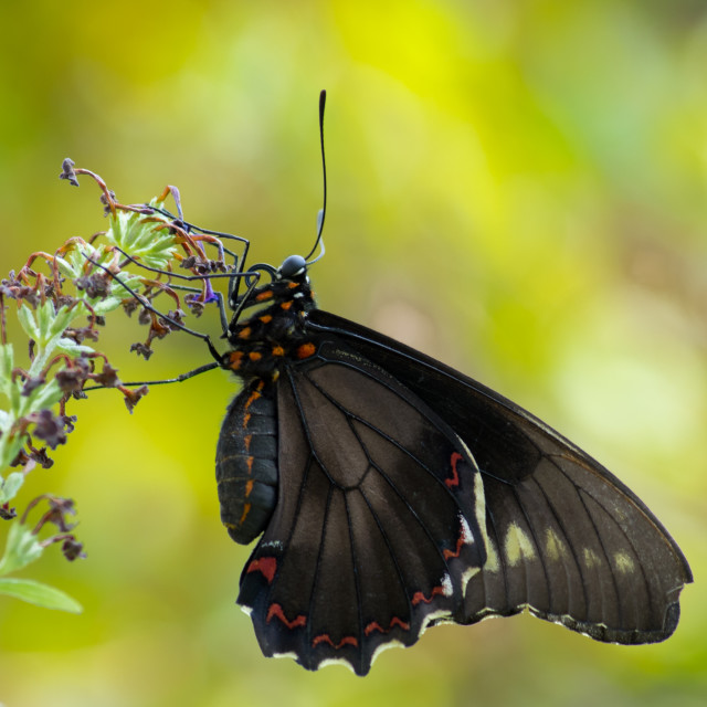 """Black butterfly"" stock image"