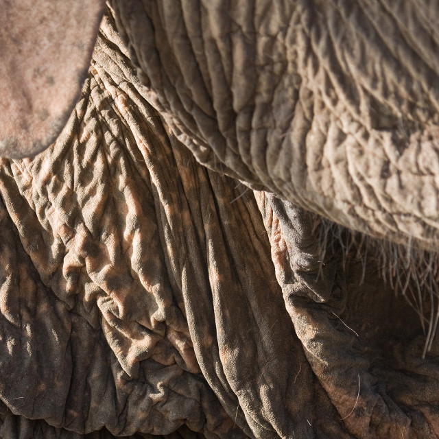 """Detail of Domestic elephant skin"" stock image"