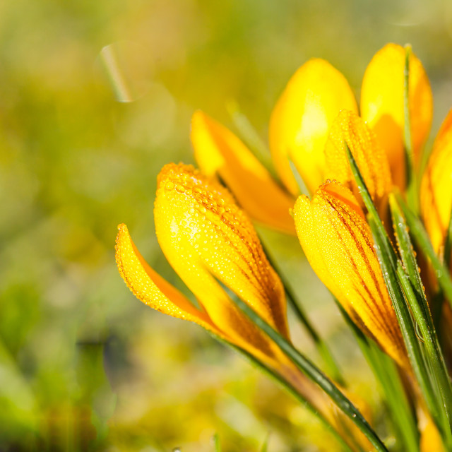 """crocus yellow in the morning frost"" stock image"