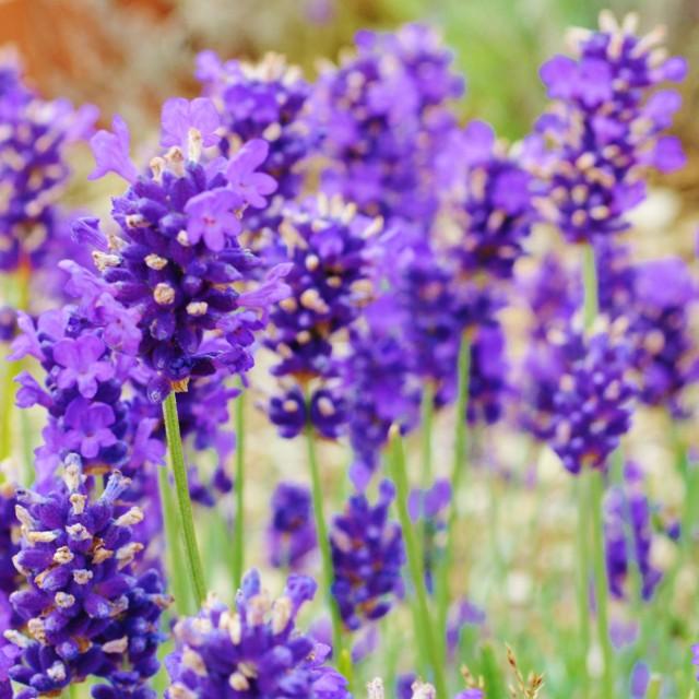 """Lavender."" stock image"