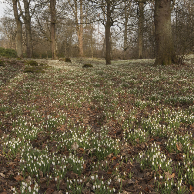 """A Carpet of Snowdrops"" stock image"