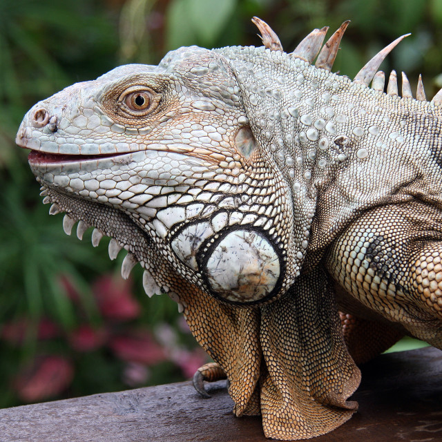 """Iguana close up"" stock image"