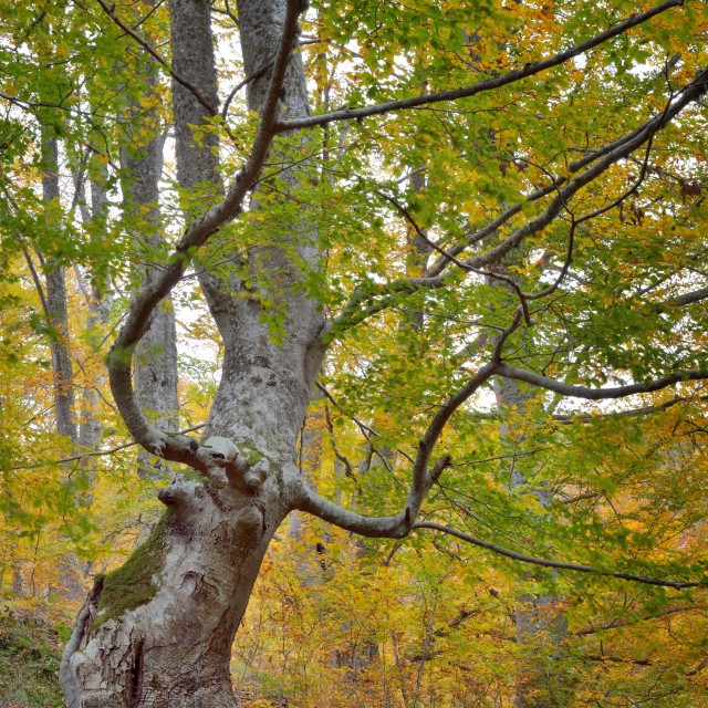 """""""the monstrous beech"""" stock image"""