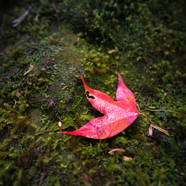 """""""Red maple on moss"""" stock image"""