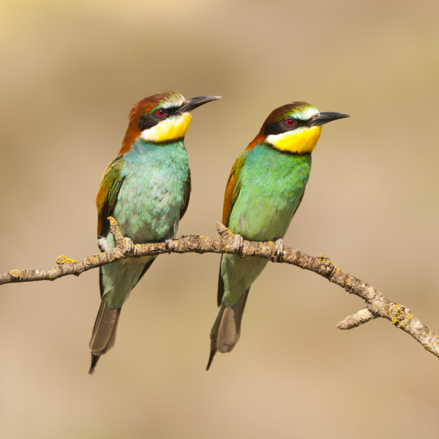 """Bee-eater"" stock image"