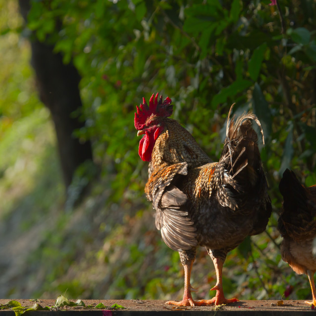 """""""Domestic rooster in Nepal"""" stock image"""