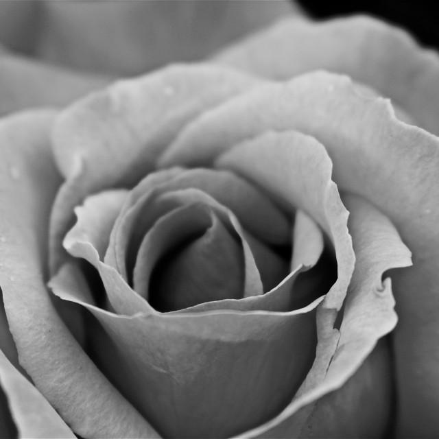"""English Rose"" stock image"