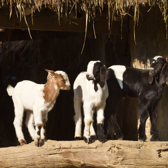"""Three young goat in Nepal"" stock image"