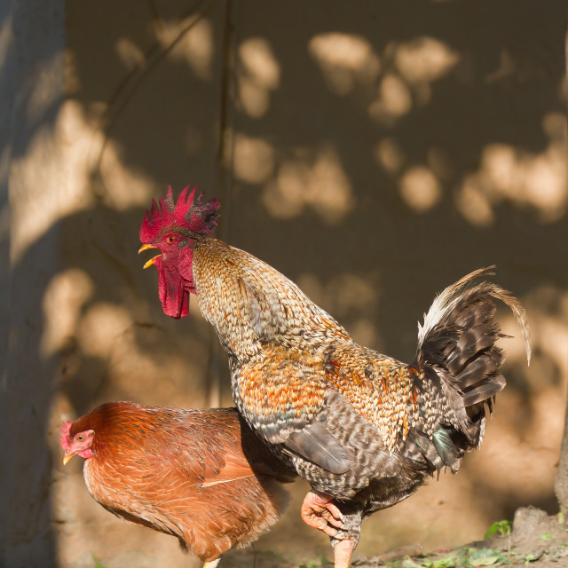 """Domestic hen and rooster in Nepal"" stock image"