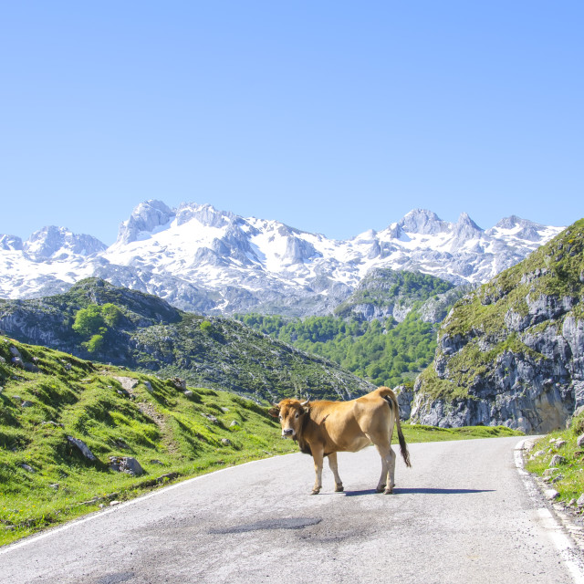 """""""Cow on the road"""" stock image"""