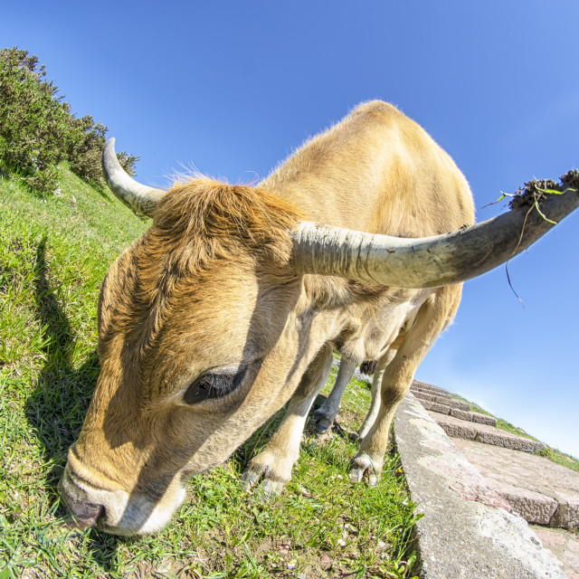 """""""Cow on the mountain"""" stock image"""