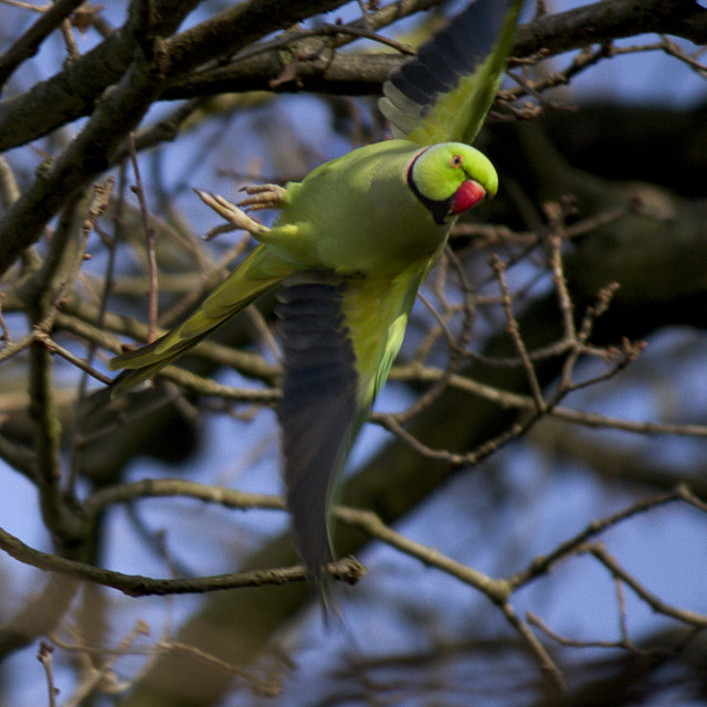 """Parakeet in a spin"" stock image"