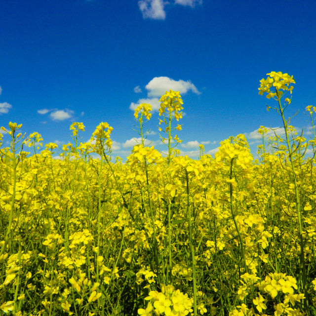 """Oilseed rape field"" stock image"